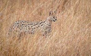 Обои охотник, дикая природа, Serval