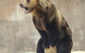 Картинка медведь, зверь, бревно, далеко гляжу, высоко сижу