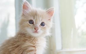 Картинка кошка, усы, окрас, котенок, рыжий, нос, глаза, лапы, кот