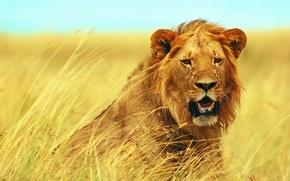 Обои взгляд, лев, кудри, молодой, трава, саванна, морда