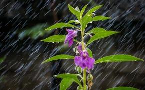Картинка цветок, листья, капли, макро, дождь, растение