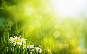 Обои цветы, лепестки, ромашка, трава