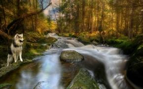 Картинка лес, река, собака