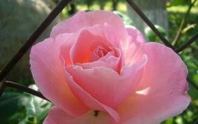 Картинка роза, тень, сад