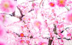 Обои дерево, цветение, весна, сакура