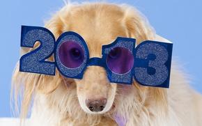 Обои очки, такса, 2013