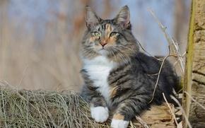 Обои кошка, кот, взгляд, портрет, Норвежская лесная кошка