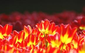 Картинка цветы, яркие, тюльпаны, клумба, желто-красные