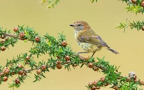 Обои листья, птица, ветка, перья, клюв, плоды