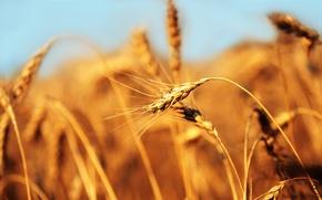 Обои колос, хлеб, пшеница, поле