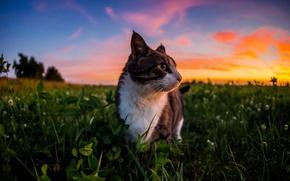 Картинка небо, трава, облака, природа, шерсть, Кот