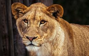 Картинка взгляд, морда, кошки, природа, фон, портрет, лев, красотка, дикие кошки, львица, львенок, спокойный, умный, выражние