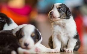 Картинка собаки, щенки, боке, Австралийская овчарка, Аусси