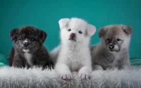 Картинка щенки, трио, японская акита