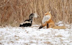 Картинка зима, снег, ситуация, камыш, лиса, скунс
