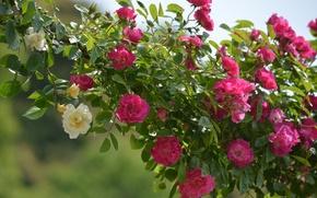 Обои плетистые розы, розы, фон