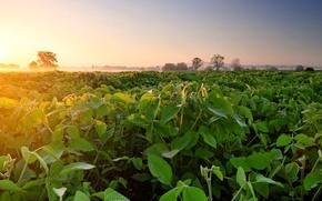 Обои туман, рассвет, утро, соя, плантация, поле, Soybean