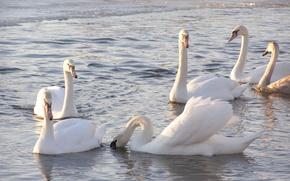 Картинка животные, природа, лебеди