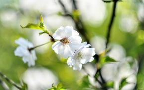 Картинка цветы, ветки, вишня, фон, весна, белые