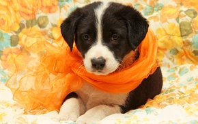 Картинка фон, собака, щенок, шарфик, обои от lolita777