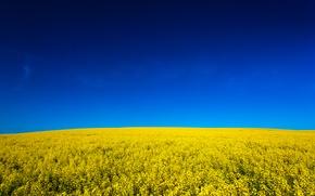 Картинка поле, небо, природа, sky, nature, yellow, fields, жёлтое, Canola, канола