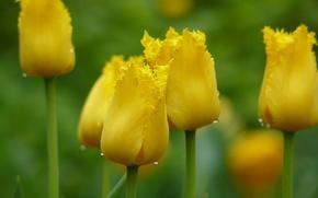 Обои капли, макро, цветы, желтый, фокус, весна, Тюльпаны, бутоны