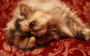 Обои кошка, диван, персидский кот