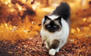 Картинка осень, листья, Кошка, пушистая
