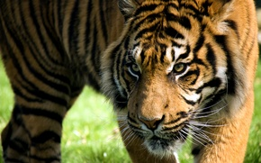 Обои взгляд, морда, полоски, тигр, хищник, дикая кошка