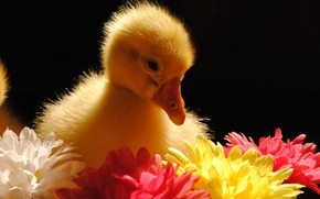 Картинка животные, цветы, птица, гусёнок