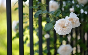 Обои цветы, цветки, розы, светлые, забор