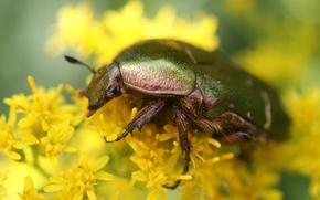 Картинка макро, цветы, жук, желтые, насекомое, обои от lolita777, бронзовка золотистая
