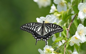 Картинка макро, бабочка, ветка, цветение, цветки, жасмин, Парусник ксут