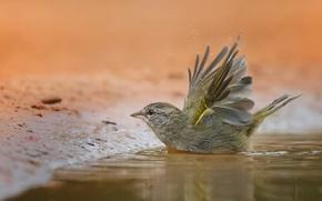 Картинка птица, лужа, купание, воробей