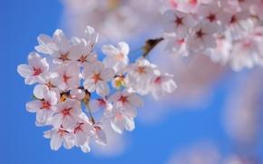Картинка небо, цветы, природа, дерево, ветка, весна, лепестки