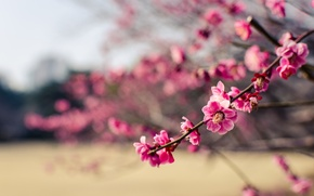 Картинка макро, цветы, ветки, парк, дерево, лепестки, Япония, размытость, розовые, слива