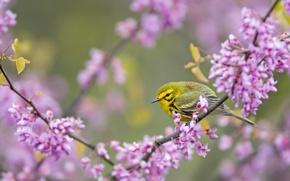 Картинка ветка, птичка, цветение, кроха