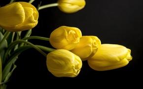 Картинка цветы, фон, черный, желтые, лепестки, тюльпаны