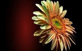 Картинка цветок, блики, лепестки, гербера