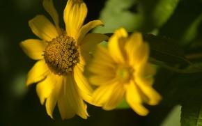 Картинка зелень, лето, солнце, макро, свет, природа, фон, боке, желтые цветы