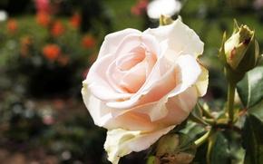 Картинка макро, розовая, Роза, venitomusic