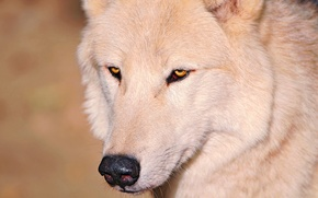 Картинка белый, глаза, волк, нос