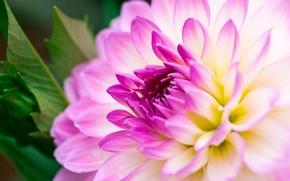 Обои бутон, макро, лепестки, цветение, tulips, георгин