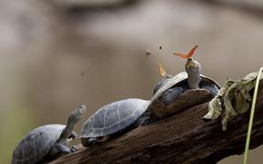 Картинка turtles, butterfly, three, tears, branch, trunk, turtle, Ecuador