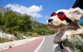 Картинка дорога, машина, ветер, собака, очки, тёмные
