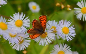 Картинка Бабочка, Ромашки, Боке, Белые Цветы