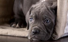 Обои щенок, взгляд, кане-корсо, морда