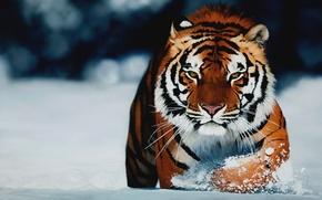 Обои взгляд, тигр, зима