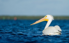 Картинка sea, water, wildlife, pelican