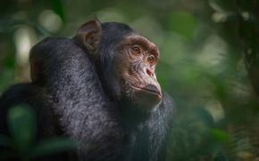 Обои Африка, южная Уганда, Национальный парк Кибале, джунгли, шимпанзе, обезьяна